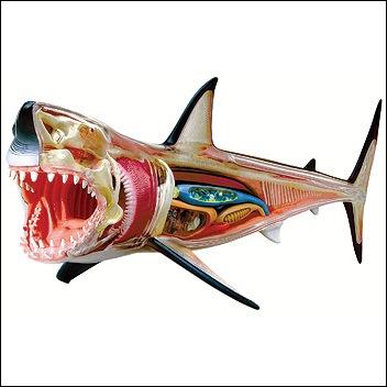 shark3danatomymodeljpg