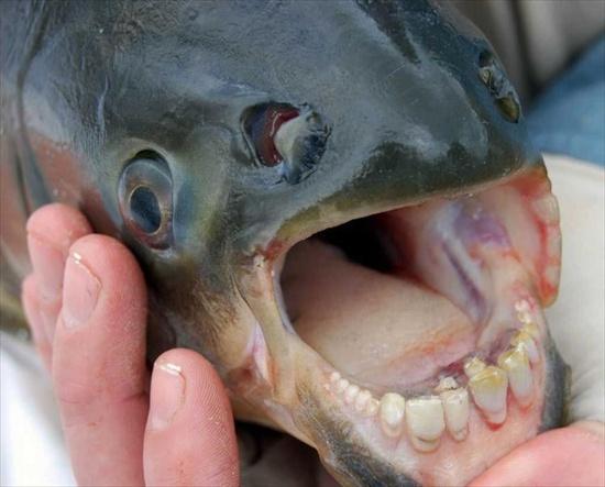 fishteeth3