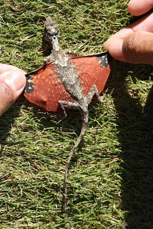 dragon Real Life Dragon Found in Indonesia