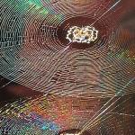 800px-Spiral_Orb_Webs