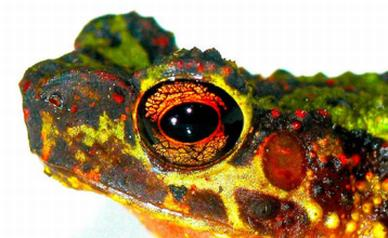 'Lost' Rainbow Toad Rediscovered After 87 Years