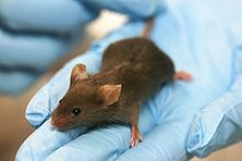 Genetically Altered Mouse is 'Immune' to Diabetes