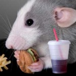Rat_eating