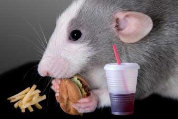 Rat_eating