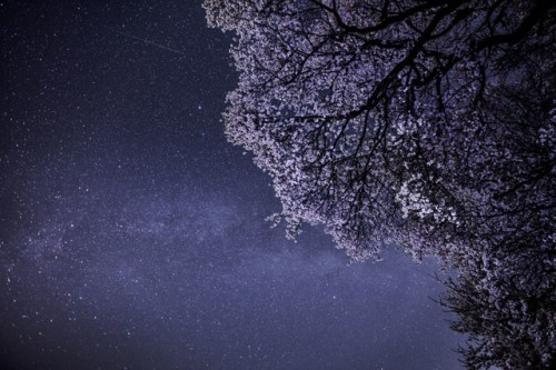 Cherry blossoms and Summer Triangle by Noriko Tabuchi