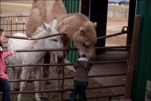 Camel Eating A Kid