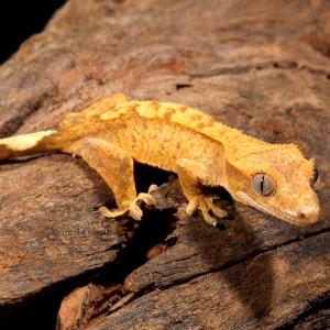 Eyelash Crested Gecko